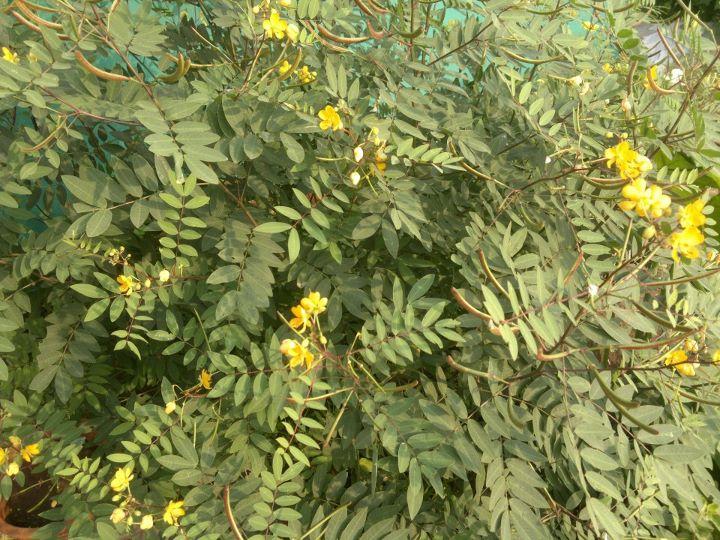 Cassia occidentalis.jpg