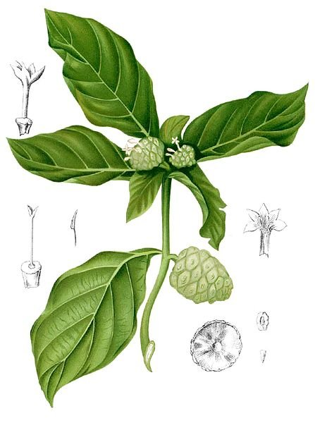 Indian mulberry (Noni)