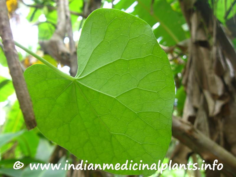 Guduci - Tinospora cordifolia