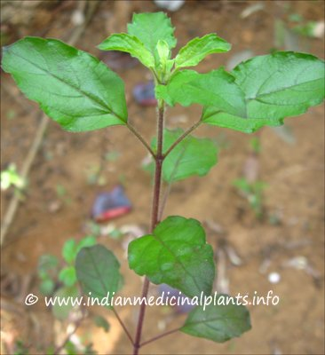 Uses Of Medicinal Plant