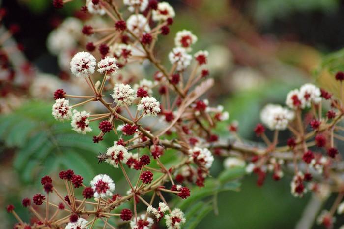 Acacia Tree Flowers A Cluster Of White Acacia Tree Flowers Acacia Tree Flowers Moving Plants