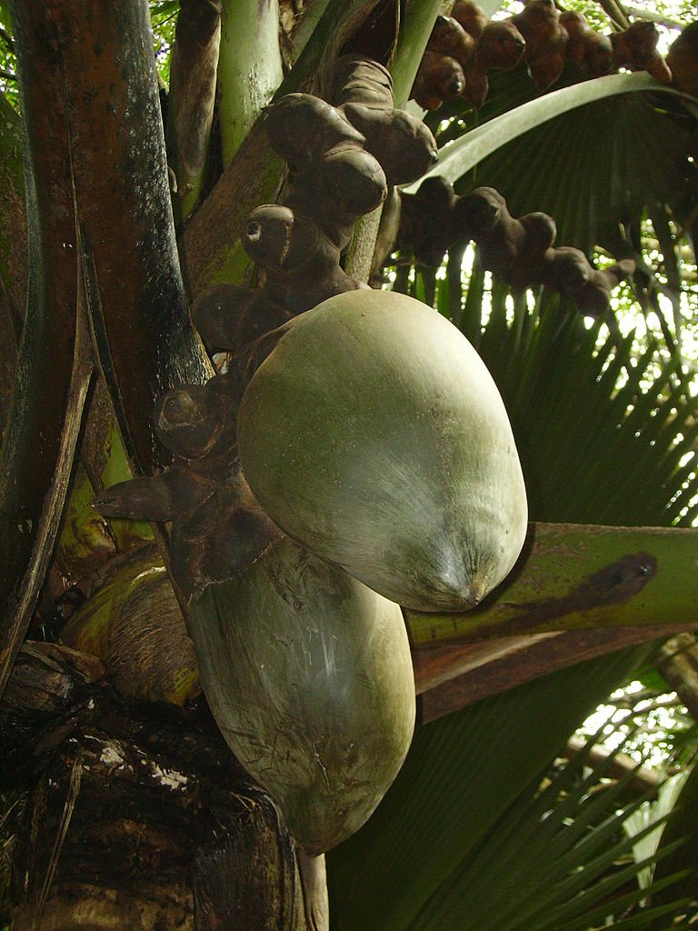 Double Coconut, sea coconut or Coco de mer-Lodoicea maldivica