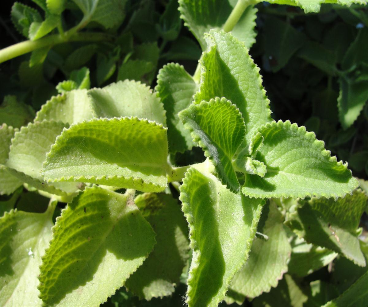 Herbs - Medicinal plants usage and Identification Data base Medicinal Plants Image Gallery Part 1